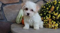 Havanese Puppies for sale in Detroit, MI 48219, USA. price: NA