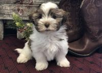 Havanese Puppies for sale in Warren, MI 48089, USA. price: NA