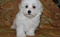 Havanese Puppies for sale in Louisville, KY 40221, USA. price: NA