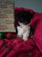 Havanese Puppies for sale in Millersburg, OH 44654, USA. price: NA