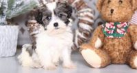 Havanese Puppies for sale in Indianapolis, IN 46218, USA. price: NA