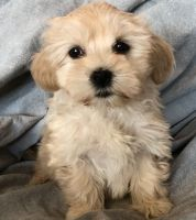 Havanese Puppies for sale in Newark, NJ 07189, USA. price: NA