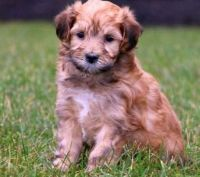Havanese Puppies for sale in Brattleboro, VT 05301, USA. price: NA