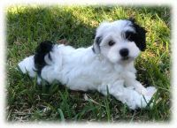 Havanese Puppies for sale in Hollywood, FL 33019, USA. price: NA