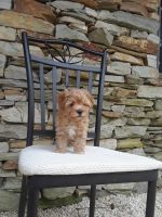 Havanese Puppies for sale in Lancaster, PA, USA. price: NA