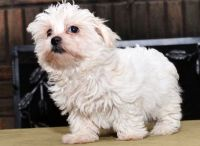 Havanese Puppies for sale in Omaha, NE 68139, USA. price: NA