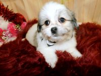Havanese Puppies for sale in Hammond, IN, USA. price: NA