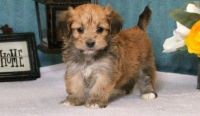 Havanese Puppies for sale in Indianapolis, IN 46283, USA. price: NA