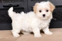 Havanese Puppies for sale in Las Cruces, NM, USA. price: NA