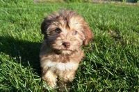Havanese Puppies for sale in Detroit, MI, USA. price: NA