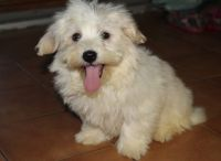 Havanese Puppies for sale in Springfield, IL 62736, USA. price: NA