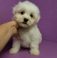 Havanese Puppies for sale in Milwaukee, WI 53263, USA. price: NA