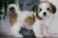 Havanese Puppies for sale in Knoxville, TN, USA. price: NA