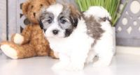 Havanese Puppies for sale in Atlanta, GA 30384, USA. price: NA