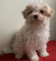 Havanese Puppies for sale in Jonesboro, AR, USA. price: NA