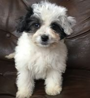 Havanese Puppies for sale in Fort Worth, TX, USA. price: NA