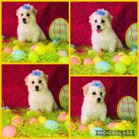 Havanese Puppies for sale in Chicago, IL, USA. price: NA