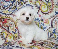 Havanese Puppies for sale in Los Nietos, CA 90606, USA. price: NA