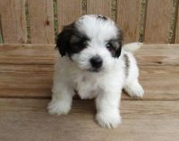 Havanese Puppies for sale in Austin, TX, USA. price: NA