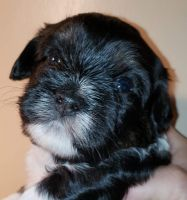 Havanese Puppies for sale in Lincoln Park, MI 48146, USA. price: NA