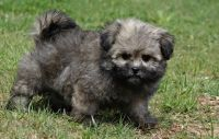 Havanese Puppies for sale in Wichita, KS, USA. price: NA