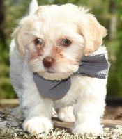 Havanese Puppies for sale in Roanoke, VA 24030, USA. price: NA