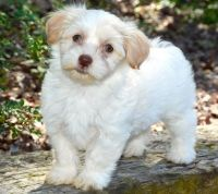 Havanese Puppies for sale in Worcester, MA, USA. price: NA