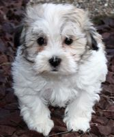 Havanese Puppies for sale in Louisville, KY, USA. price: NA