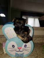Havanese Puppies for sale in Seaford, NY, USA. price: NA