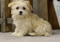Havanese Puppies for sale in Hartford, CT, USA. price: NA