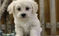 Havanese Puppies for sale in New Orleans, LA, USA. price: NA