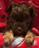Havanese Puppies for sale in Potters Hill, NC 28572, USA. price: NA