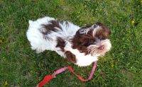 Havanese Puppies for sale in 900 Rd, Spencer, NE 68777, USA. price: NA