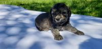 Havanese Puppies for sale in Troutdale, OR 97060, USA. price: NA
