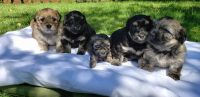 Havanese Puppies for sale in Wood Village, OR 97060, USA. price: NA