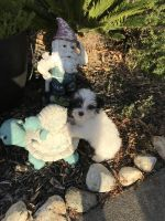 Havanese Puppies for sale in Vacaville, CA, USA. price: NA