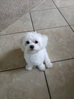 Havanese Puppies for sale in McKinney, TX, USA. price: NA