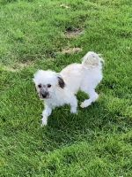 Havanese Puppies for sale in Columbus, OH 43219, USA. price: NA
