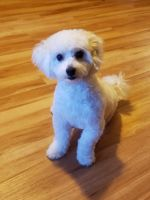 Havanese Puppies for sale in 956 W Lee Dr, Santa Maria, CA 93458, USA. price: NA