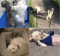 Havanese Puppies for sale in Orlando, FL, USA. price: NA