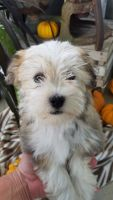 Havanese Puppies for sale in Berlin, OH 44654, USA. price: NA