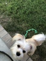 Havanese Puppies for sale in Prairie Grove, AR 72753, USA. price: NA