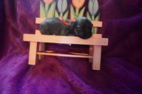 Havanese Puppies for sale in Foley, MN 56329, USA. price: NA