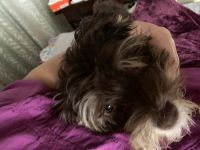 Havanese Puppies for sale in Highland Park, IL 60035, USA. price: NA