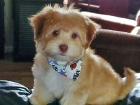 Havanese Puppies for sale in Clinton, TN 37716, USA. price: NA