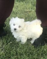 Havanese Puppies for sale in CROOKED RIVER, OR 97760, USA. price: NA
