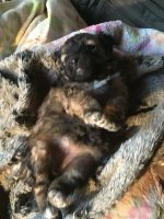 Havanese Puppies for sale in 411 E 21st St, Bakersfield, CA 93305, USA. price: NA