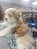 Havanese Puppies for sale in Flint, MI, USA. price: NA