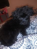Havanese Puppies for sale in 1549 Murray Dr, Garland, TX 75042, USA. price: NA