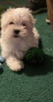 Havanese Puppies for sale in East Hollywood, Los Angeles, CA, USA. price: NA